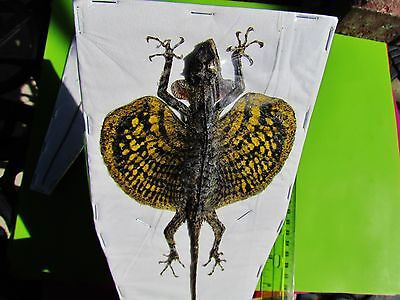 """Draco Flying Dragon Lizard (Yellow) Taxidermy 210-250mm or 9+"""" FAST SHIP FROM US"""