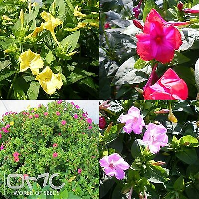 MARVEL OF PERU mix (Mirabilis Jalapa) 50+EXTRA seeds (#707)