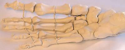 Life-size human foot bone anatomical model New