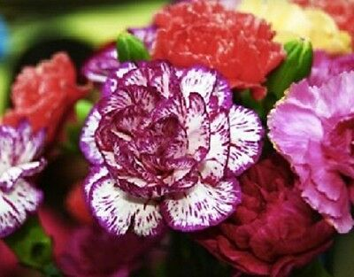 F0166 Dianthus Gaiety Double Mix x50 seeds