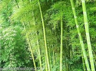 Giant Phyllostachys pubescens moso bamboo seeds hardy Giant 10 20 30 50  Seeds