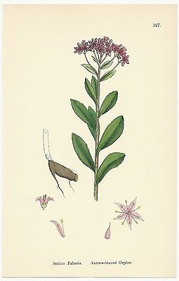 Sowerby. Narrow-leaved Orpine. Sedum. Hand Colored. Over 100 years old! #527