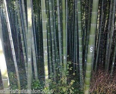 Giant Bamboo Phyllostachys pubescens moso bamboo seeds hardy 10 20 30 50  Seeds