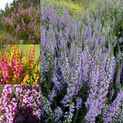 6 X Mixed Heathers Calluna & Erica Varieties Colourful Large Flowering Plants