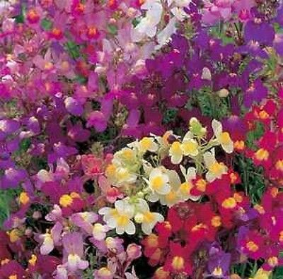 Toadflax Flower Mix Baby Snapdragon 500 Fresh Seeds Free Usa Shipping