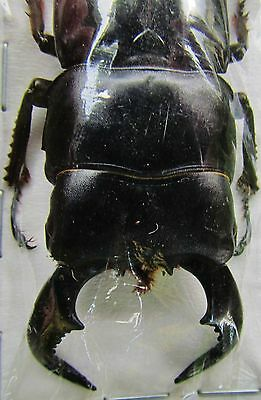 Fighting Stag Beetle Dorcus bucephalus Male 60-75mm FAST SHIP FROM USA