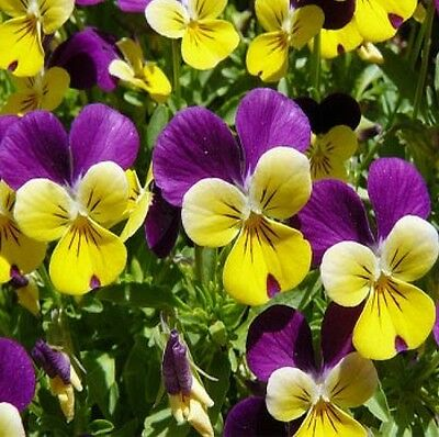 Johnny Jump Up - Viola - Flower Seeds Free Shipping 150 Fresh Seeds