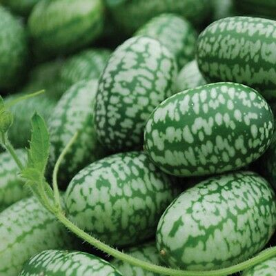 Cucumber Mexican Sour Gherkin (50 seeds)- Organic Heirloom Seeds