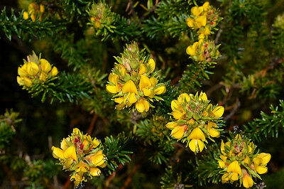 HEATH PHYLLOTA (phyllota phylicoides) NATIVE Seeds