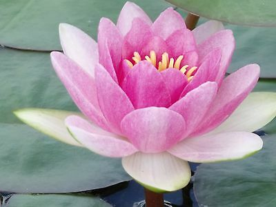 Bareroot Water Lily / Nymphaea - Pink - Cup Shape - Hardy healthy water plants