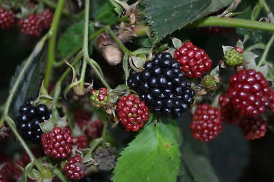 3 CUTTINGS -Black raspberry plant fruit - UNROOTED CUTTINGS