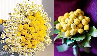 Craspedia Billy Buttons x20 seeds F0141