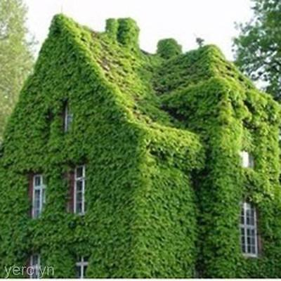2 Packs Parthenocissus Boston Ivy Seed Fresh Green Wall Plant Spring Planted Hot
