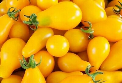Tomato Seed: Beam's Yellow Pear (60seeds) - Organic Heirloom Life-Force Seeds