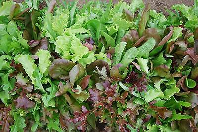 Mesclun Salad Mix, Lettuce mix (800 Seeds)-Organic Heirloom by Life-Force Seeds