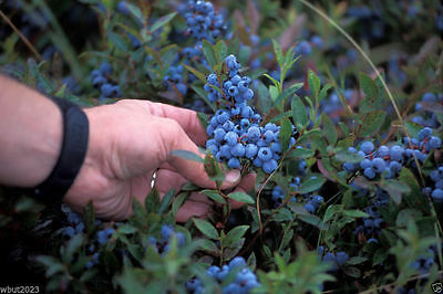 Lowbush Blueberry Seeds,Vaccinium angustifolium, fruit is high in antioxidants !
