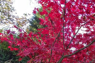 Mixed Acers, WIde colour range,scarlet ,red, crimson, deep purple,green.50 seeds