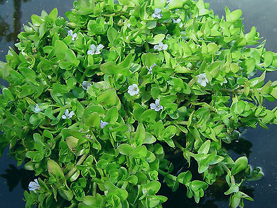 POND / AQUARIUM / WATER PLANT - Bacopa Caroliniana, healthy plant with roots