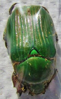 Mexican Scarab Beetle Plusiotis (Chrysina) lecontei   FAST SHIP FROM USA