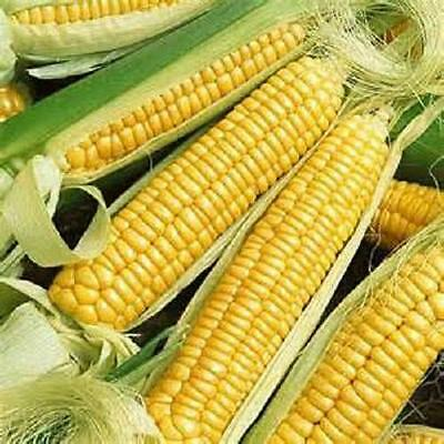 100 Seed Golden Bantam sweet corn seed new seed for 2015 Non-Gmo,Heirloom  Seeds