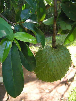 Guanabana,soursop fruit tree,used in treating cancer from Puerto Rico