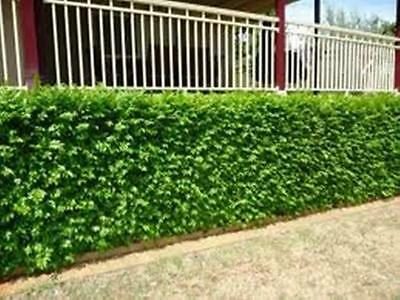 50 x Very Fragrant ORANGE JASMINE Murraya paniculata hedging plants in 40mm pots