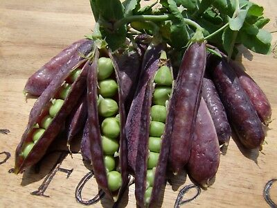 Pea Purple podded (30seeds)- Organic Heirloom from Life-Force Seeds