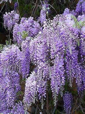 Blue Chinese Wisteria Seeds - Wisteria sinensis - Perennial climbing vine