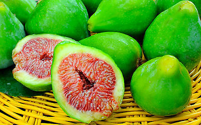 DESERT KING FIG TREE CUTTINGS 10 CUTTINGS HARDY FIG WITH LARGE SUPER SWEET FRUIT