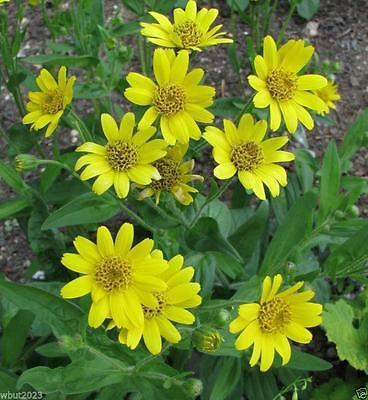 50 Meadow Arnica Seeds a.K.a Chamisso arnica,- Arnica chamissonis,Perennial !