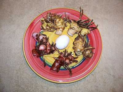 Ginger Bulb Variety Pack, French Kiss Ginger, Pine Comb Ginger, Red Button