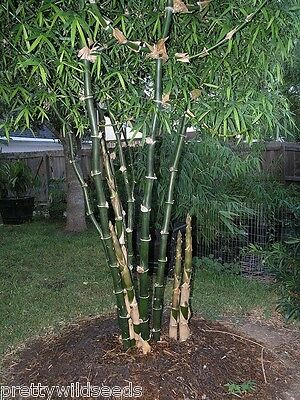 Bambusa arundinacea Giant Thorny Bamboo  SEEDS GENUINE FRESH SEEDS