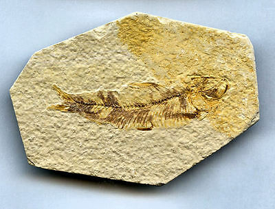 Fossil of a fish Knightia eocaena (67 mm long), 50 million years old