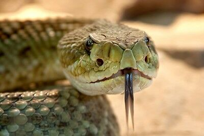 RATTLESNAKE CLOSE UP REPTILE SNAKE WILDLIFE POSTER PRINT 24x36 9MIL PAPER