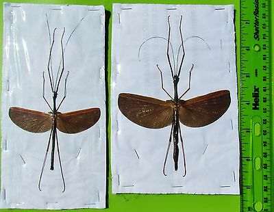 Giant Flying Stick Bug Insect Gargantuoidea triumphalis Pair FAST SHIP FROM USA