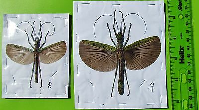 Malaysian Flying Stick Bug Aschiphasma annulipes Pair Spread FAST SHIP FROM USA