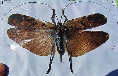 Mottled Wing Grasshopper Orthoptera sp Female Spread FAST SHIP FROM USA