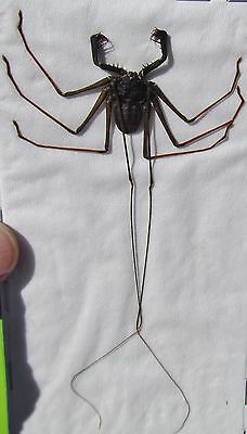 Cave Dwelling Giant Whip-spider Charon grayi FAST SHIP FROM USA