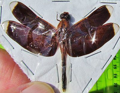 Real Indonesian Brown Winged Dragonfly Odonates sp. Spread FAST SHIP FROM USA