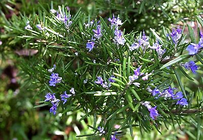 Rosemary Plant (Rosmarinus officinalis) - Small but Healthy - in 7cm pot