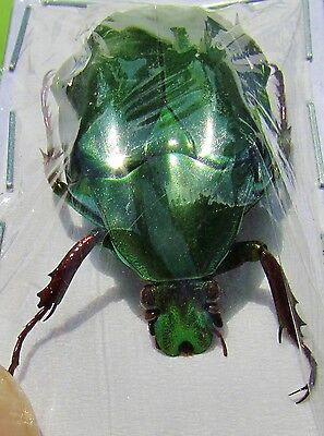 Lot of 10 Shiny Green Flower Beetle Pseudochalcothea virens FAST SHIP FROM USA