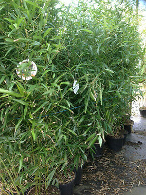 10x Phyllostachys bissetii - Hardy Bamboo 1.9m tall 5 litre pot in Free Delivery