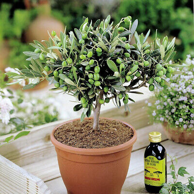 1 X 'Olea Europea' Common Olive Tree Evergreen Growing Food Hardy Plant In Pot