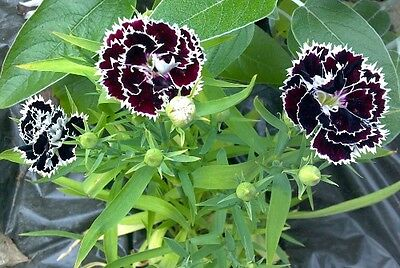 Heirloom 800 Seeds Dianthus caryophyllus Carnation Sweet William Double Mix