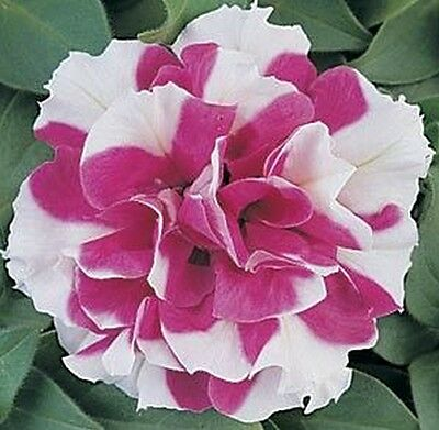 Ex054 Petunia Double Madness Rose/White x20 seeds, DoubleFlowered