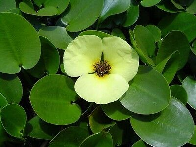 Water Poppy - Hydrocleys Nymphoides - quality, healthy plant with roots