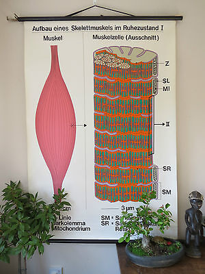 Vintage Pull Down School Wall Chart Of Structure Of Skeletal Muscle At Rest I