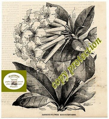 1855 - Stich - Th - Jasmin - Rhododendron (18172)