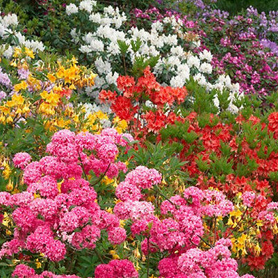3 X Mixed Rhododendrons Bushy Shrubs Colourful Potted Garden Plants In Pot