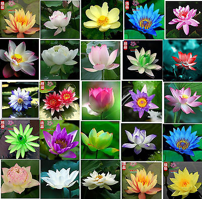 water lily seeds huge selection of colors mini lotus Hydroponic flowers aquarium